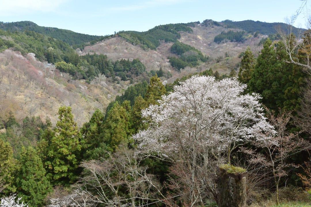 Naka-Senbon Cherry Trees