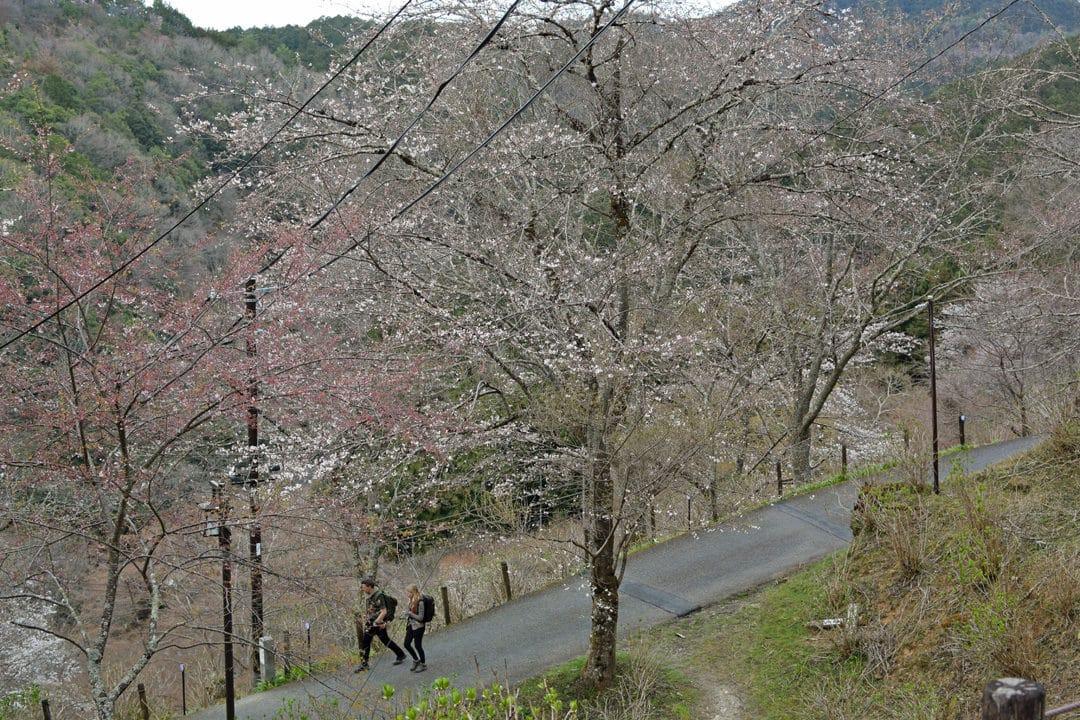 Shimo-Senbon Cherry Trees