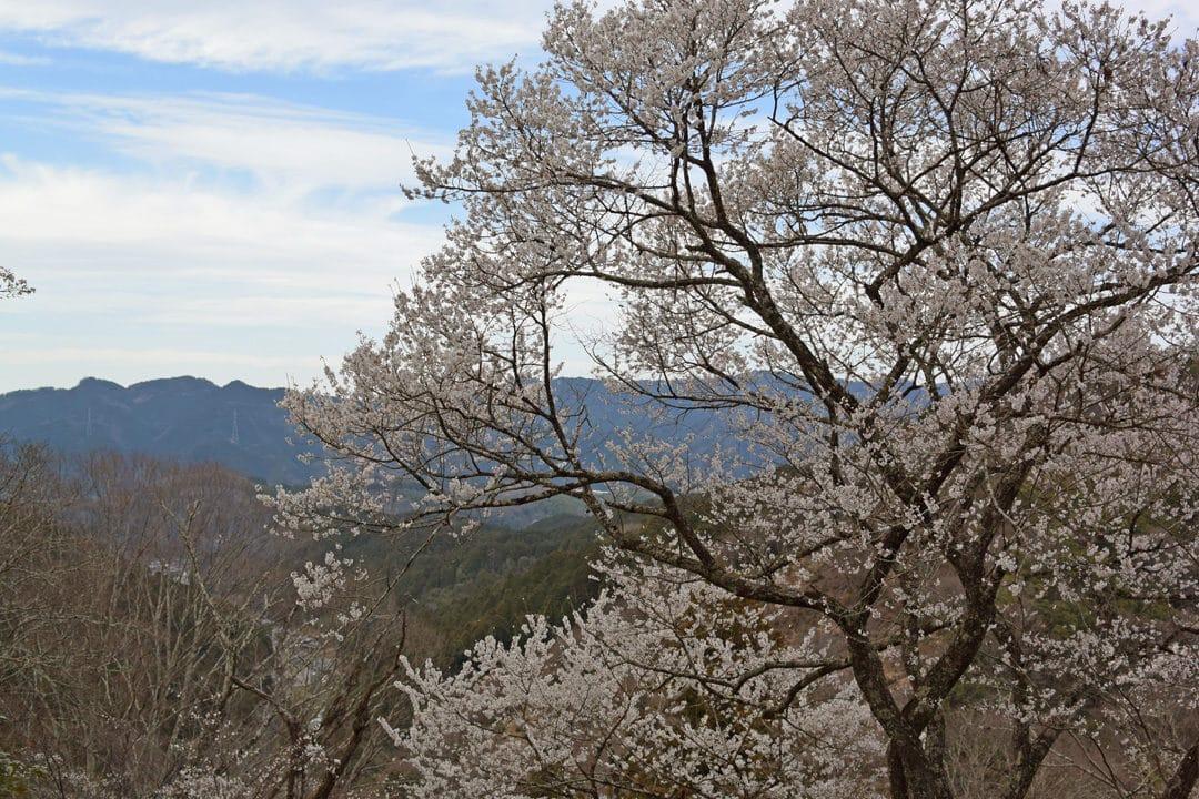 Cherry Tree in Mount Yoshino