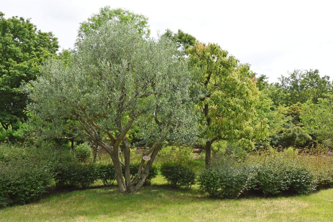 Olive Tree in Shamijima
