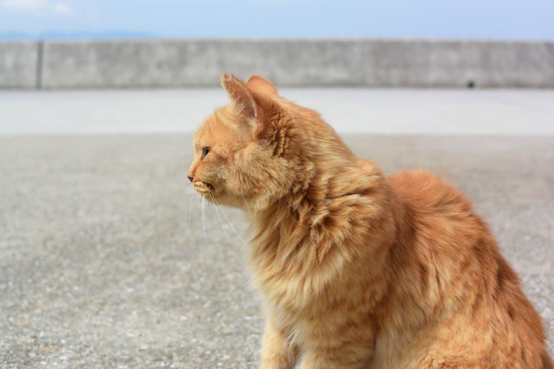 Cat in Ogijima