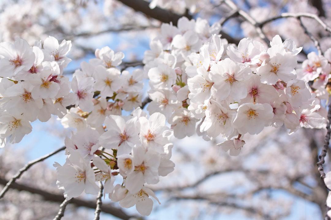 Cherry blossoms in Tsurumi Ryokuchi Park