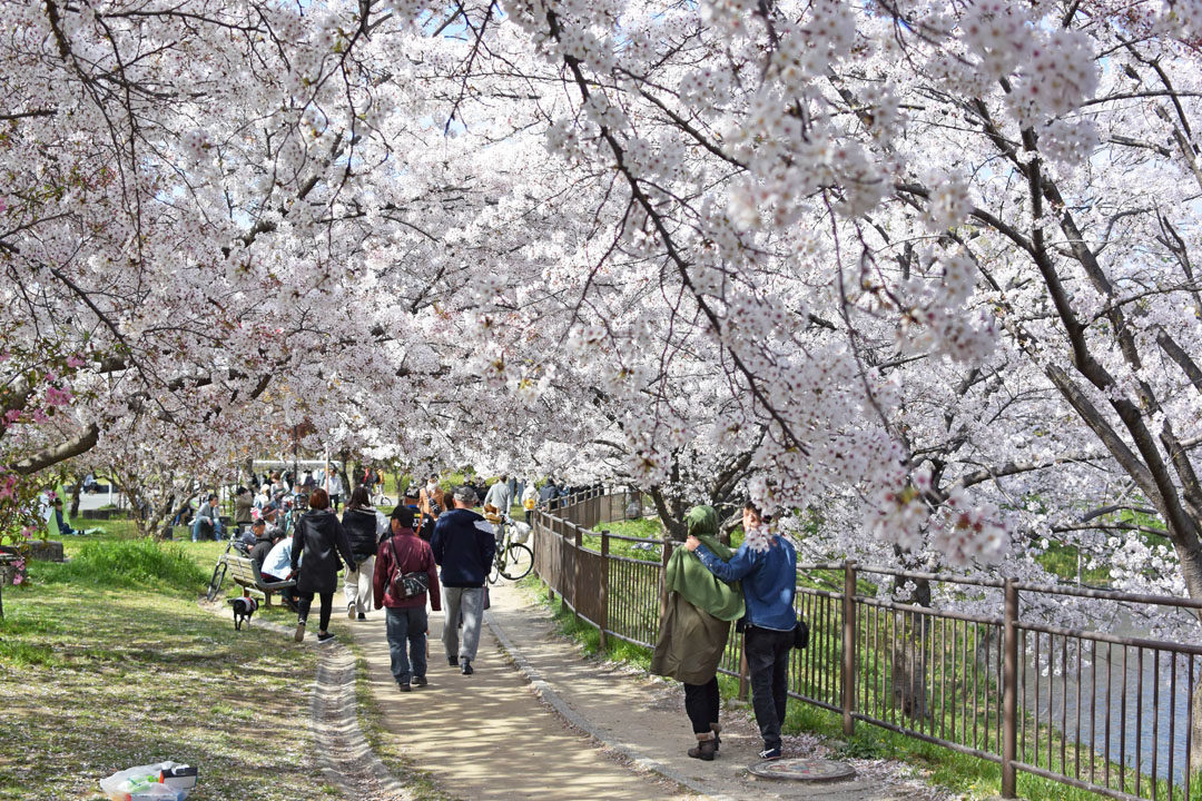 Cherry blossoms and viewers