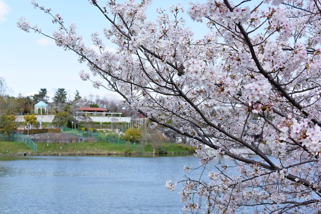 Cherry tree near the pond